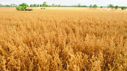 Australian barley is heading to a significant new market this month after the nation's biggest grains exporter, CBH Group, signed a deal to ship 30,000 tonnes of malting barley to Heineken Mexico. Image Credit: www.agric.wa.gov.au