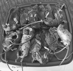 18 mice one nights catch from a household just out of town. Image Contributed.