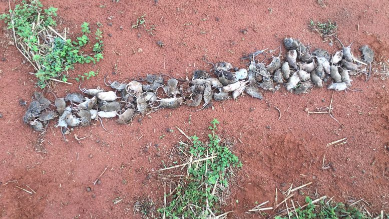 71 mice collected last night around the sheds of a property north of Condobolin. Image Contributed.