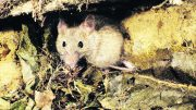 Mice are set to cause damage at sowing time for winter crops in all regions including Condobolin and the Lachlan Shire. the Mouse Monitoring Project Update March 2021 is urging local growers and agronomists to report mouse activity using the MouseAlert website (www.mousealert.org.au) and MouseAlert app. Image Credit: Central West Local Land Services.
