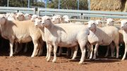 The Manwaring Family of Condobolin have been using Tattykeel Rams since 2014 and over the years have continually improved their genetics. The family recently set a new district record price. Image Contributed.