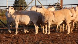 A line of 10 Scanned In Lamb (SIL) Australian White ewe lambs offered by RN Jones and Partners of 'Needlewood', Condobolin have sold for $1,351. The Tattykeel blood and certified joined ewe lambs, which surpassed the previous record by $141 a head. Image Credit: www.auctionsplus.com.au